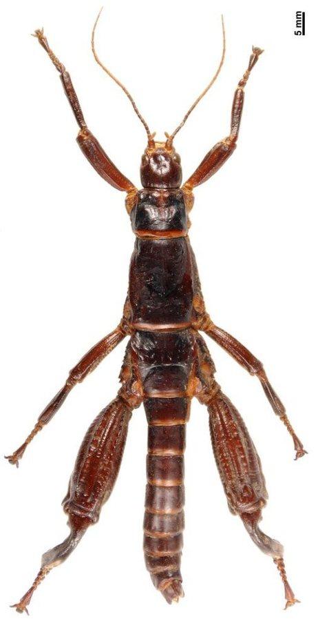 Phasmidae_dryococelus-austr_custom