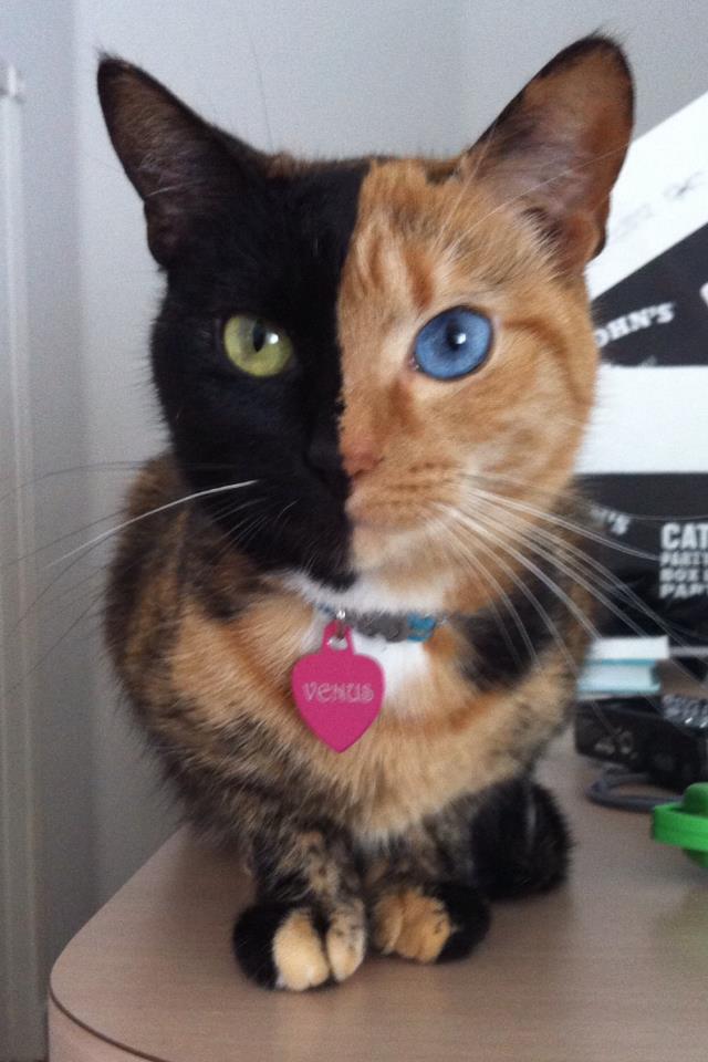 Chimera-cat-4