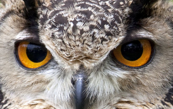Owl-eyes-close-up