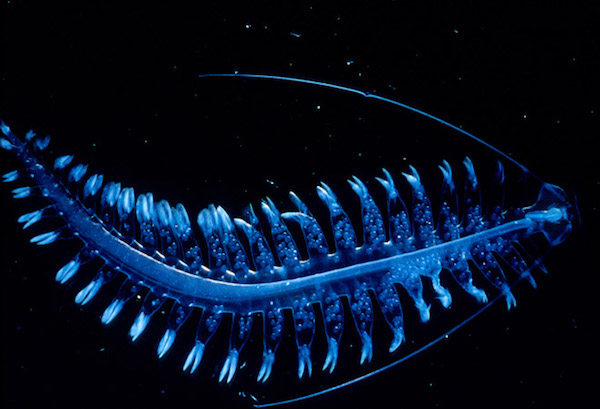 Tomopteris sea worm