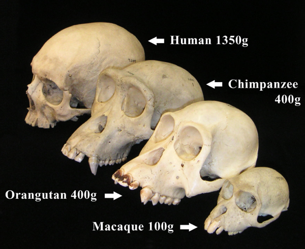 Primate_skull_series_with_legend_cropped