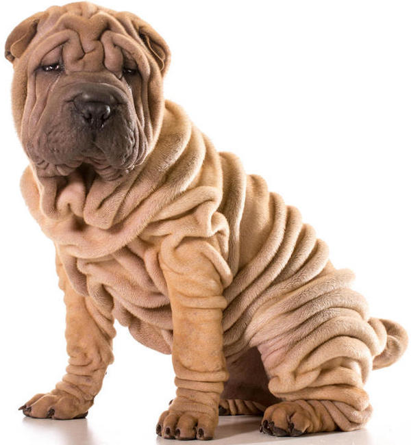Dog-Chinese_Shar_Pei-A_young_Chinese_Shar_Pei_puppy_with_lots_of_deep_wrinkles