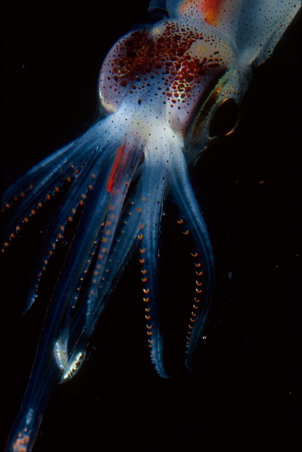 Abraliopsissquid