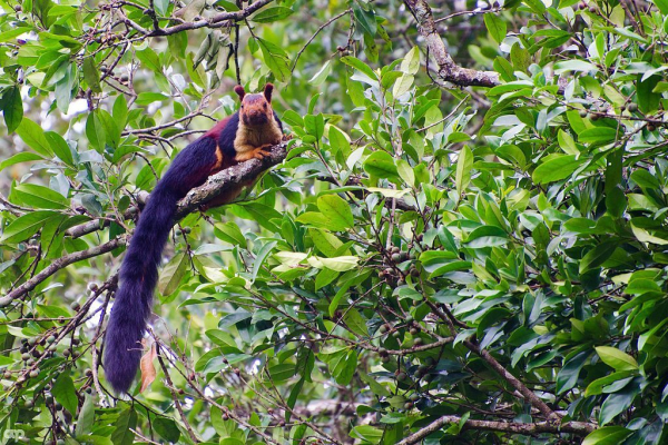 Indian_giant_squirrel_or_malabar_giant_squirrel 2