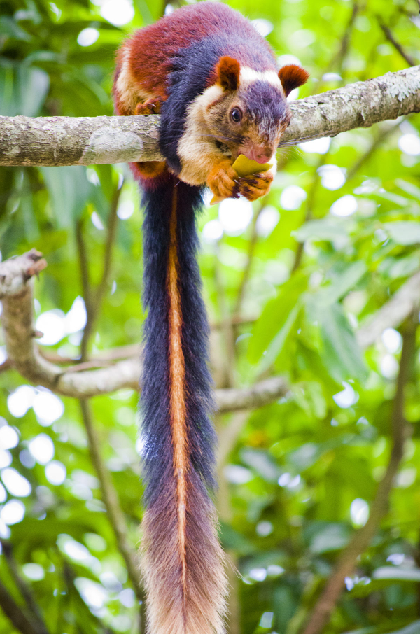 The_Indian_giant_squirrel