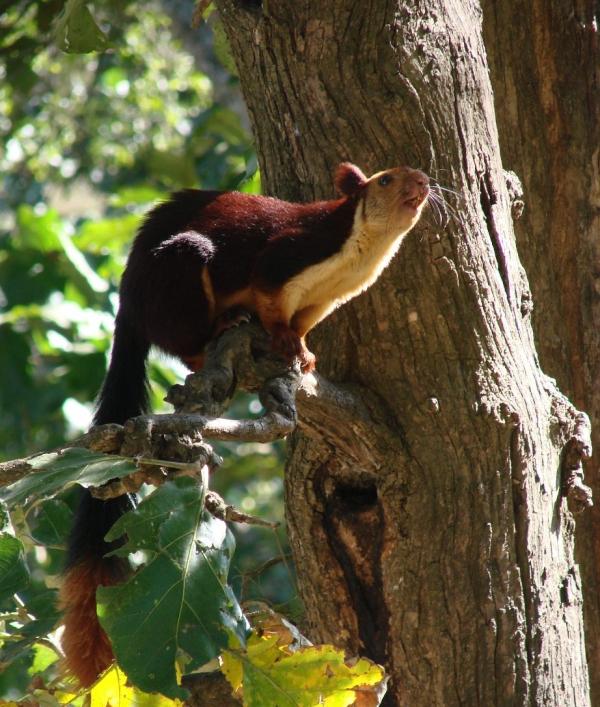 Malabar_Giant_Squirrel-Dogra