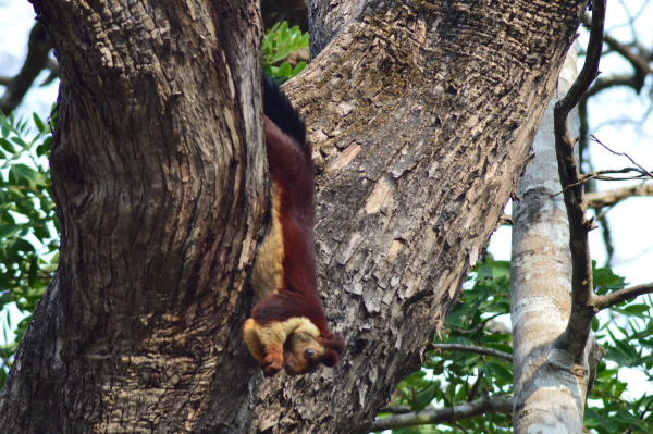 Indian_Giant_Squirrel_or_Malabar_Giant_Squirrel-1