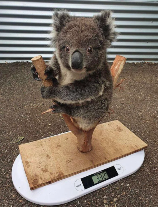 How koalas are weighed